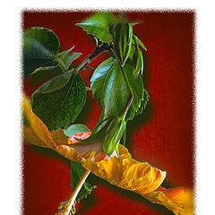 "photo ""Yellow Hibuscus"""