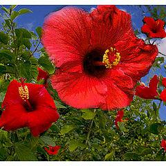 "photo ""Red Hibiscus"""