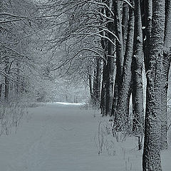 """photo """"Trees in a snow"""""""