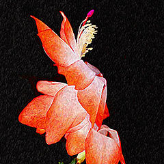 "photo ""Christmas Cactus"""