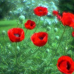 """photo """"Poppies"""""""