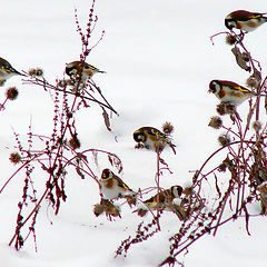 """photo """"Goldfinches on a burdock"""""""