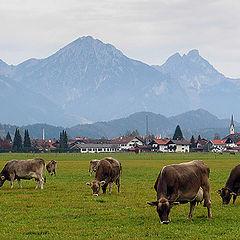 """фото """"Happy cows"""""""