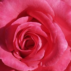 "фото ""Square Rose"""