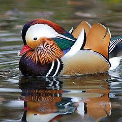"фото ""Mandarin Duck"""