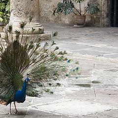 "photo ""The peacock"""