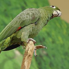 "фото ""John Silver's parrot"""