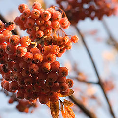 "photo ""Mountain ash in morning light"""