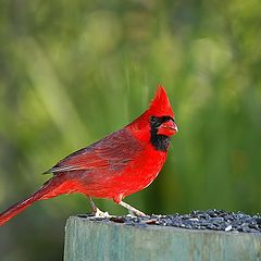 "photo ""Male Red Cardinal"""