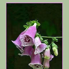 """photo """"Digitalis Purpurea"""""""