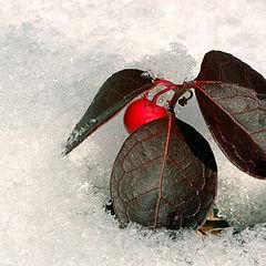 """фото """"Winter berry"""""""