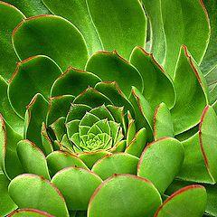 "photo ""Succulent Sempervivum"""