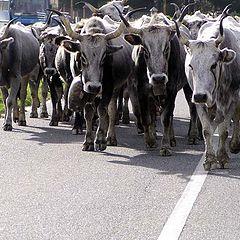 "photo ""The Revenge Of Cows"""
