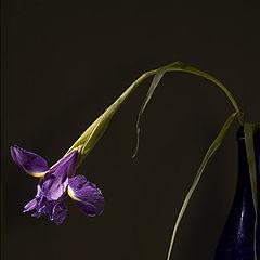 """photo """"Still-life 2. An iris"""""""