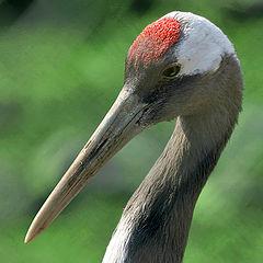 "photo ""Japanese crane"""