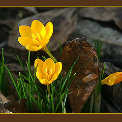 "photo ""Heralds of spring"""