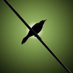"фото ""Blackbird"""
