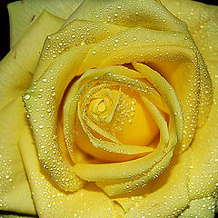 "фото ""Yellow Rose"""