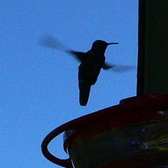 "фото ""Hummingbird at Dusk"""