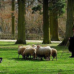 "фото ""sheep shepherd"""