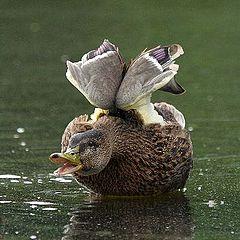 """фото """"Duck"""""""