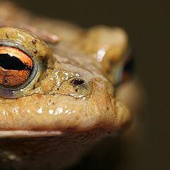 """photo """"Little Frog very Big"""""""