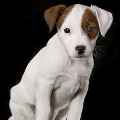 """фото """"Pup in studio"""""""