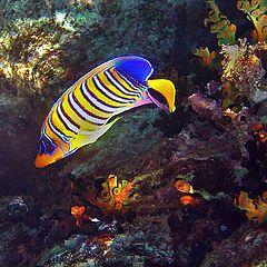 """фото """"Ангел-диакантус - Royal angelfish"""""""