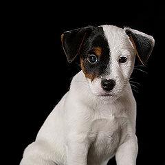 """фото """"Pup in studio 2"""""""