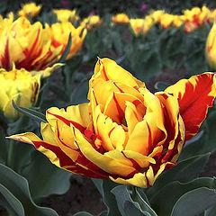"""фото """"Весенний тюльпан"""""""
