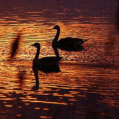 "photo ""Golden Geese"""