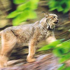"""фото """"Lynx"""""""