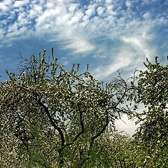 "photo ""Apple trees"""