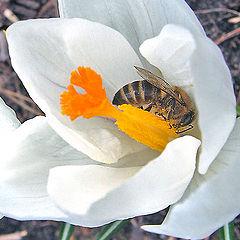 """фото """"Дикая пчела"""""""