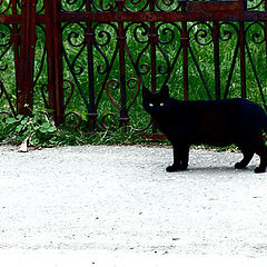 "photo ""dark kitty"""