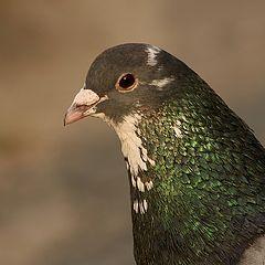 "фото ""Pigeon"""