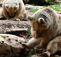 "фото ""Bears meditation class"""
