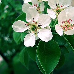 "photo ""Apple Flowers"""