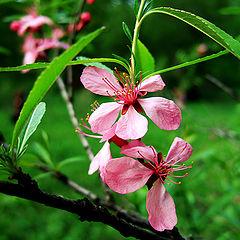 "photo ""Cherry Flowers"""