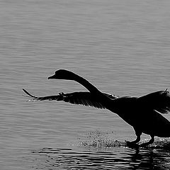 "фото ""The Swan"""