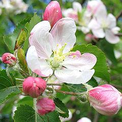 "фото ""Яблони в цвету..."""
