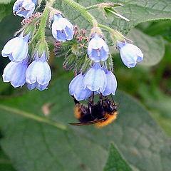 "photo ""fluffy bee in blue//пухнастый шмелик и голубая нежность"""