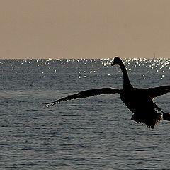 """фото """"Swan"""""""