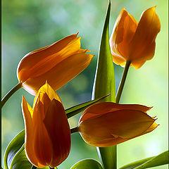 "фото ""Dancing Tulips"""