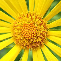 "photo ""Sun Flower"""