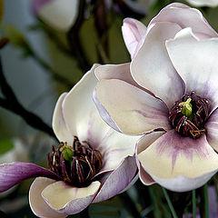 "photo ""Magnolia"""