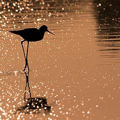 "фото ""Black-winged stilt"""