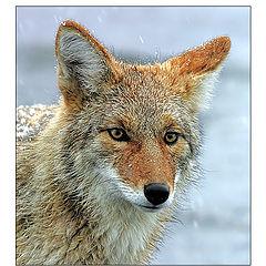 """photo """"Coyote & Snowflakes"""""""