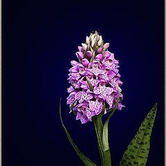 """фото """"Северная орхидея"""""""