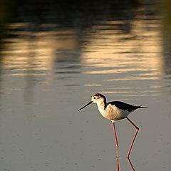 "фото ""Black-winged stilt II"""